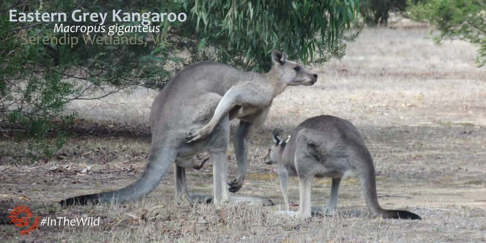 Eastern Grey Kangaroo courtship on guided tour