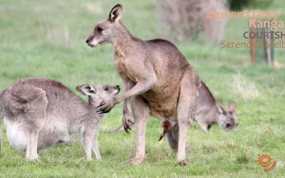 Watch: kangaroo mating
