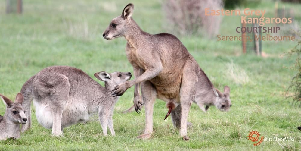 kangaroo courtship pre-mating male affectionate