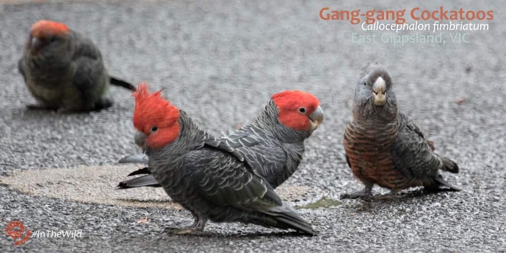 Gang gang cockatoos Callocephalonfimbriatum