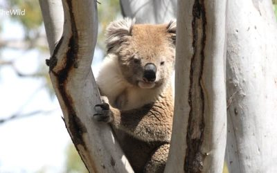 About Koala Jin Jin