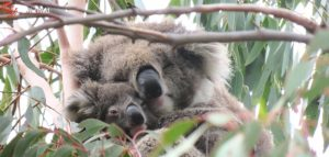 koala joey Echidna Walkabout
