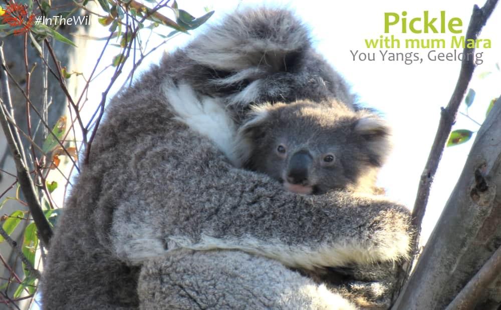 Koala mother joey cuddling