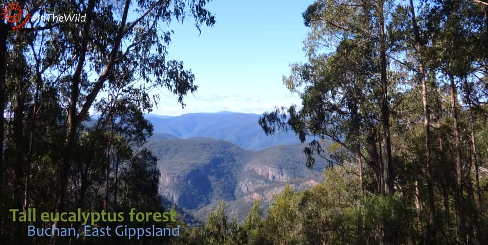 tall eucalyptus forest in mountains