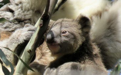 About Koala Bunyip