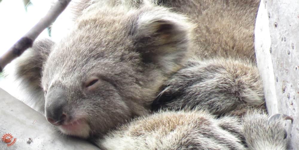 wild Koala baby Bunyip