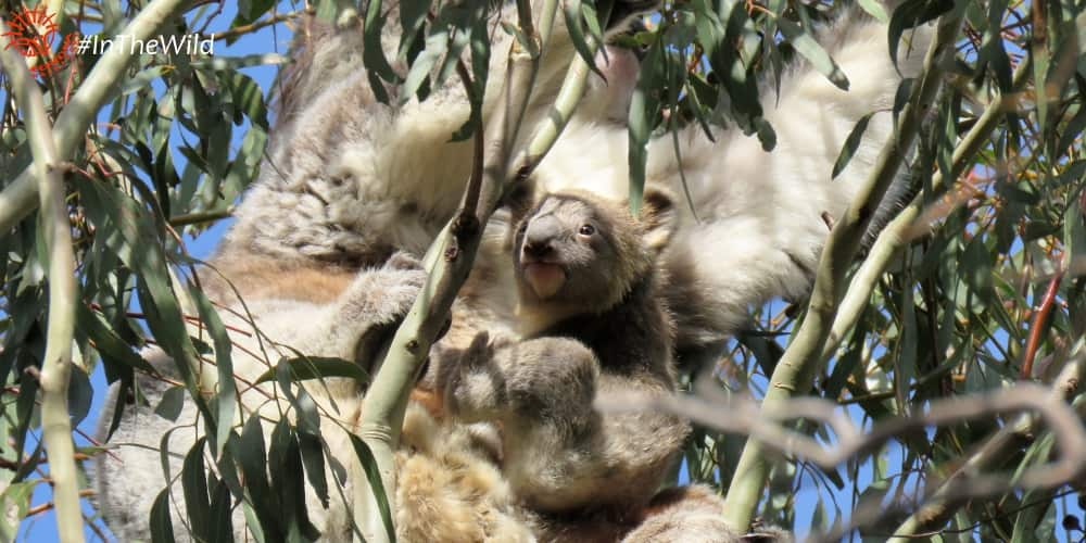 Bunyip special koala joey