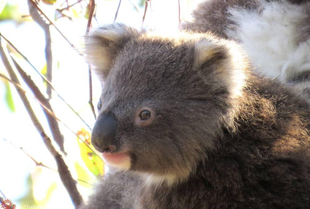 joey koala Pickle You Yangs