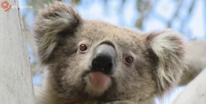 Pretty female koala face