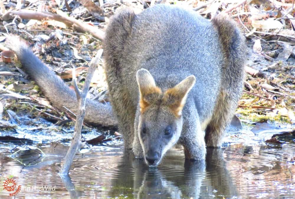 Wild wallaby drinking