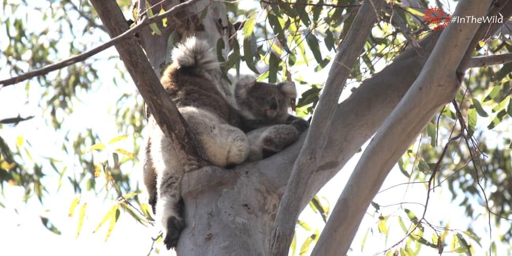 wild koala photographs throughout life