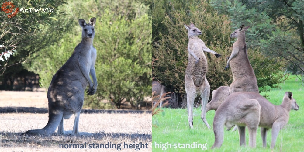 Eastern Grey Kangaroo facts about standing height