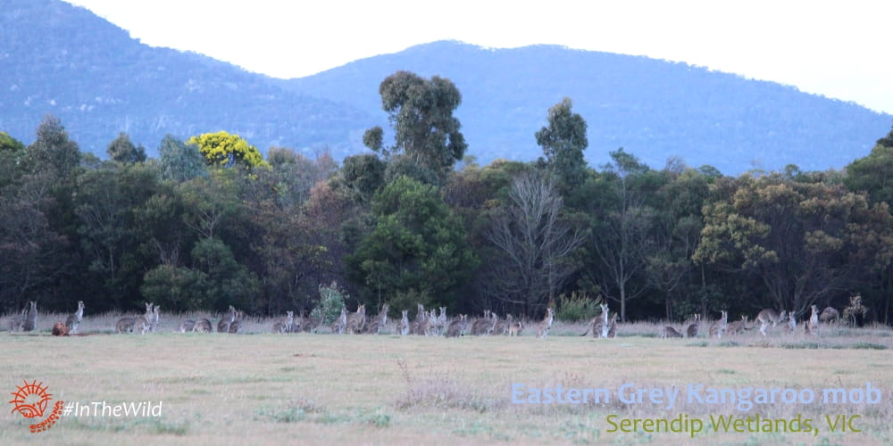 big group of Eastern Grey Kangaroos near Melbourne