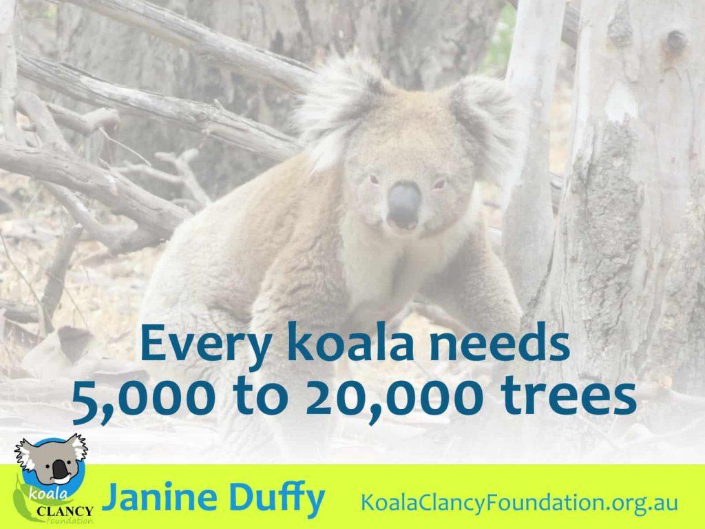koalas need thousands of trees