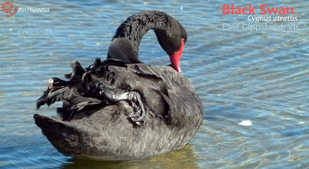 Black Swan by the sea