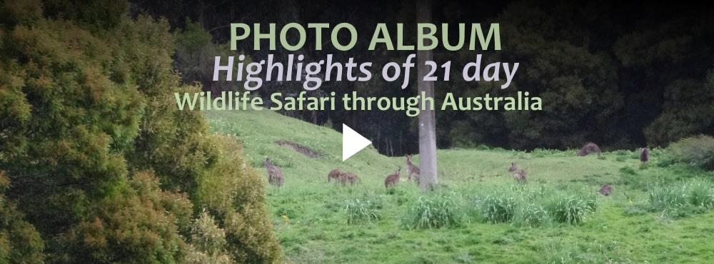 kangaroos on 21 day wildlife safari
