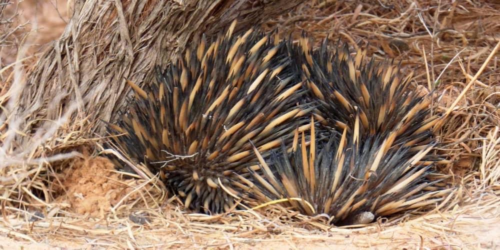 echidna Mungo Outback Wildlife tour