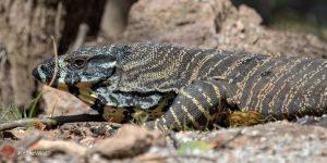 Goanna Varanus varius Australian weird animals