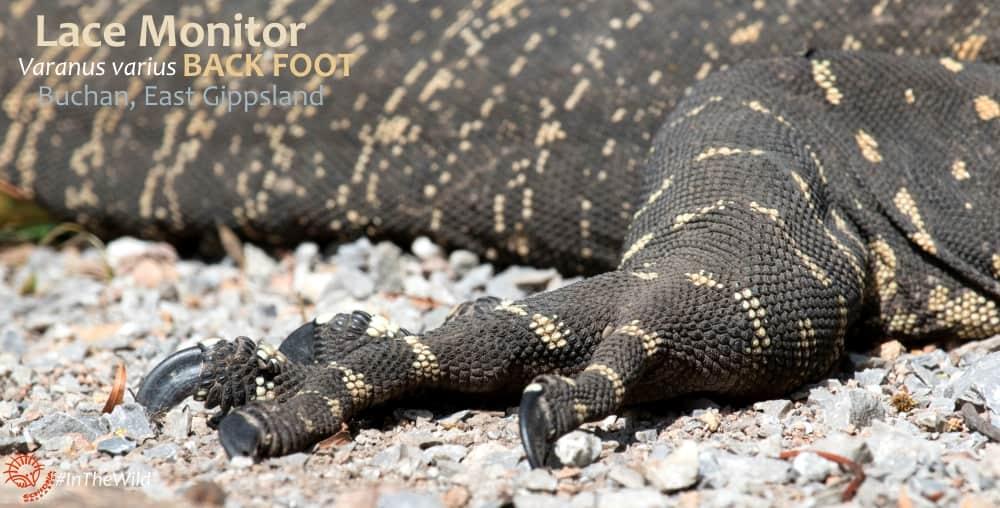 Australian lizard goanna foot