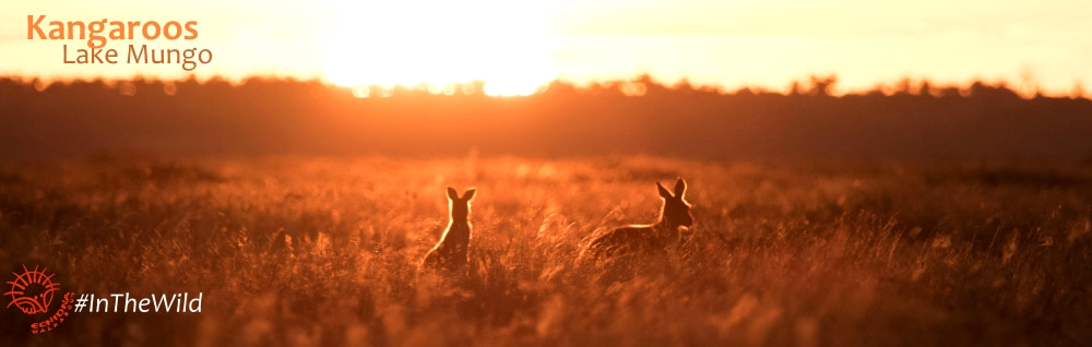 Kangaroos in the sunset outback travel