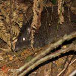 weird mammal Australian potoroo