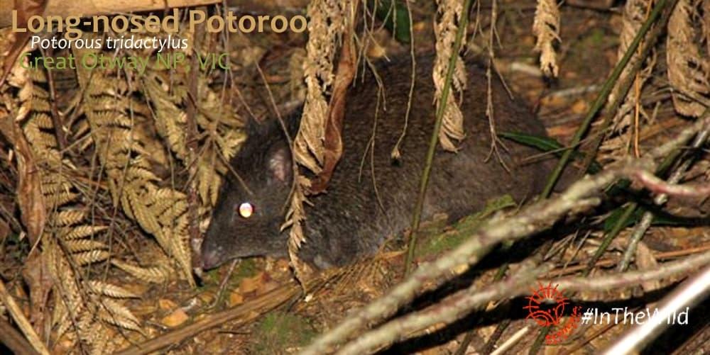Australia's weirdest animals: Long-footed Potoroo