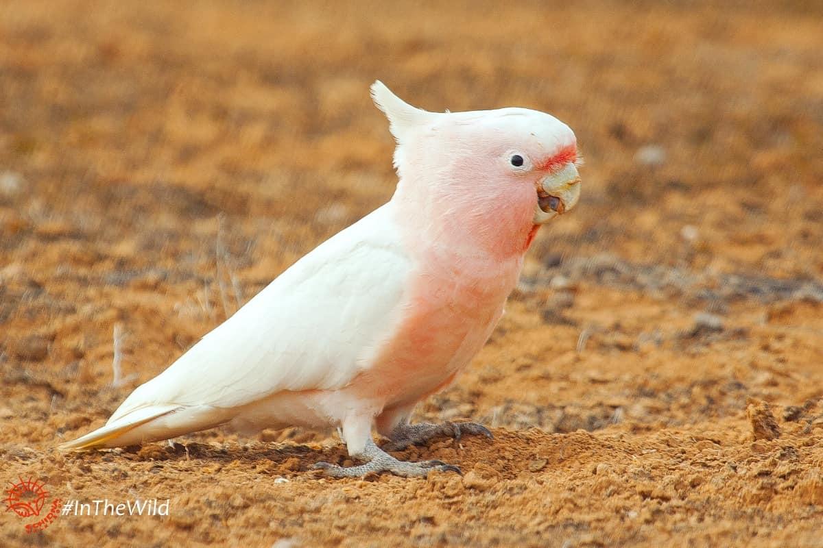 pink cockatoo mungo wildlife journey