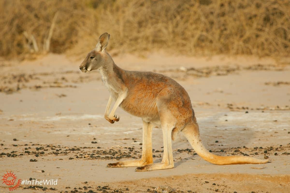 red kangaroo standing mungo national park