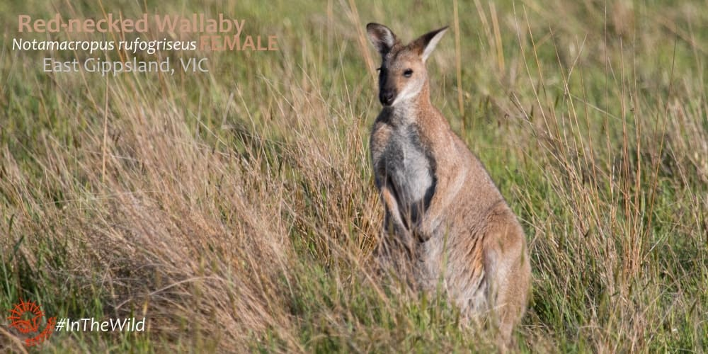 difference between red-necked and swamp wallaby