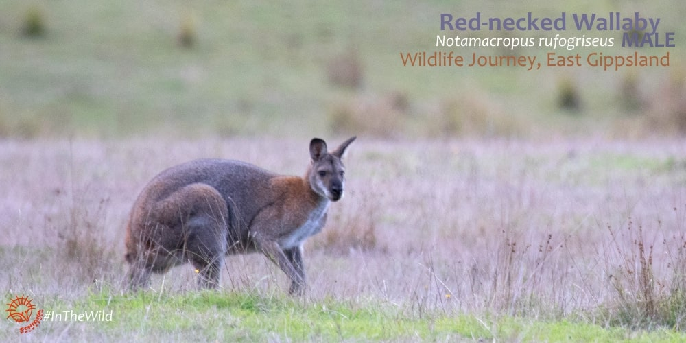 Red-necked vs swamp wallaby