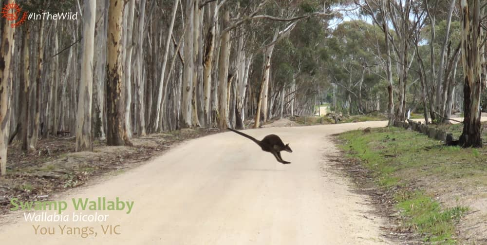 difference between red-necked and swamp wallaby hopping style