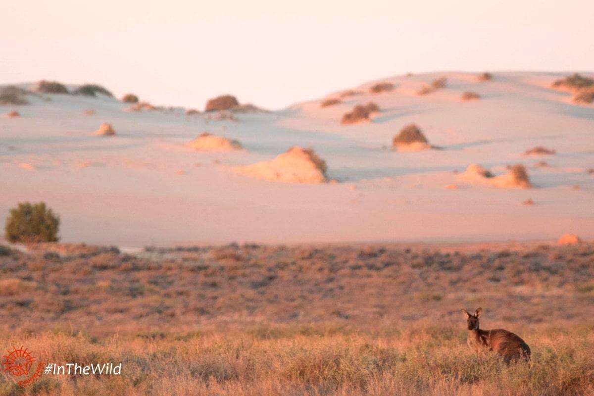 kangaroo wildlife at mungo
