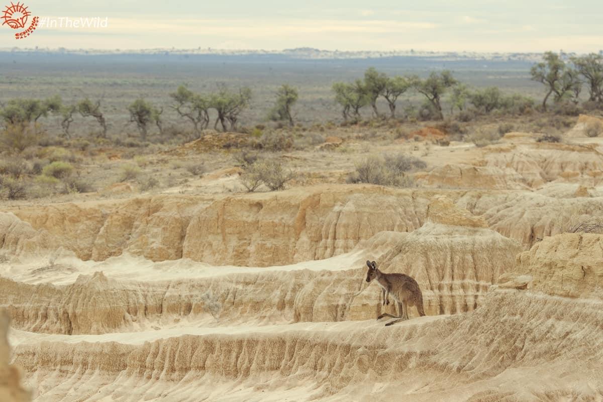 kangaroo at mungo walls of china