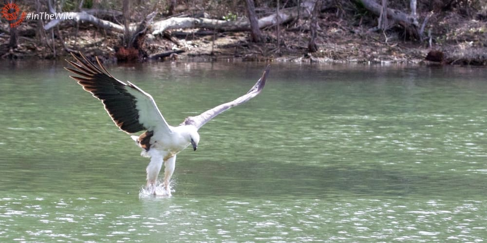White-bellied Sea Eagle hunting over water East Gippsland Australia