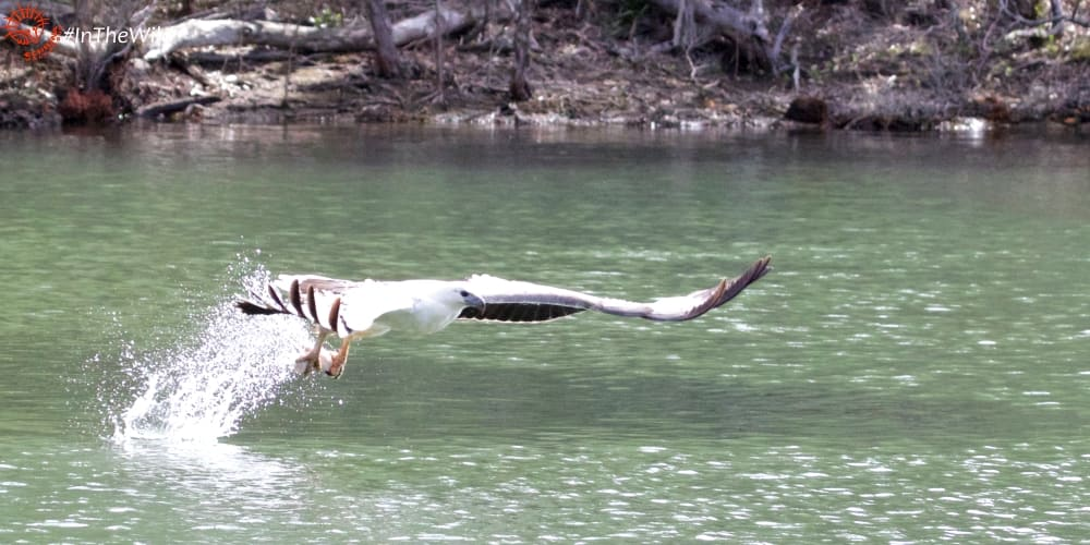 where can you see Sea Eagles hunt in Australia