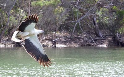Where to see Sea Eagles in Australia