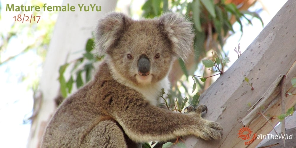 You Yangs Wild Koala Research