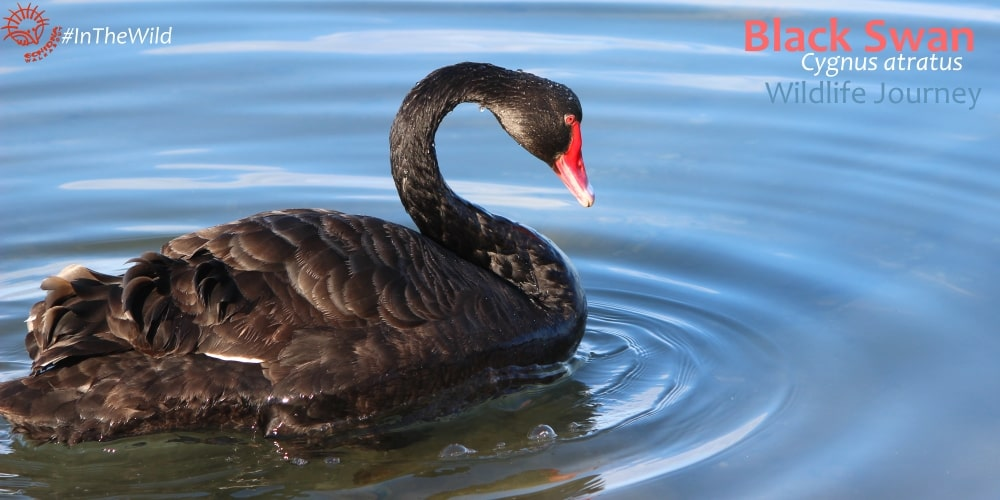 Black Swan in the wild nature