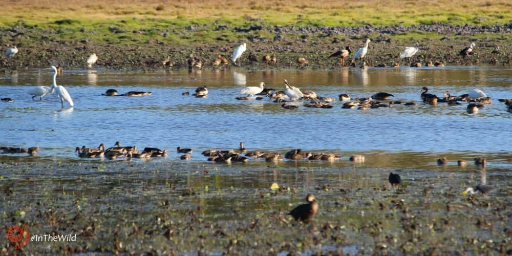 Wild Top End Maximum Wildlife tour: egrets, ducks, spoonbills