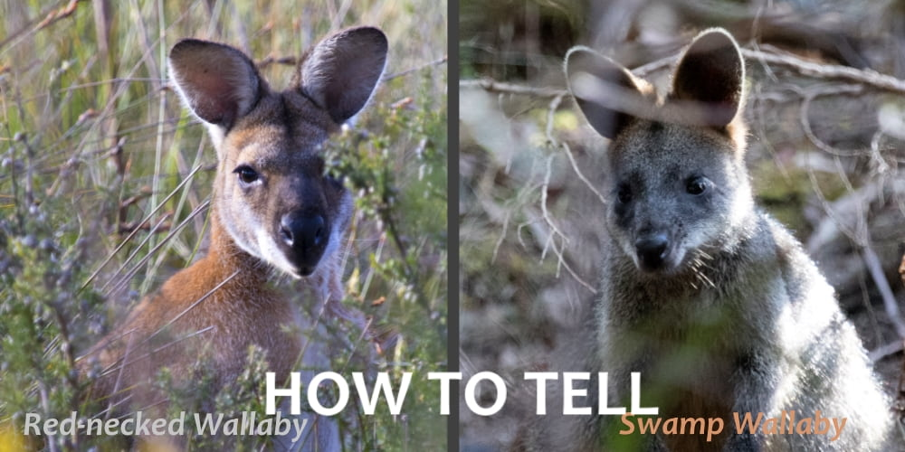 How to tell the difference between Red-necked & Swamp Wallaby