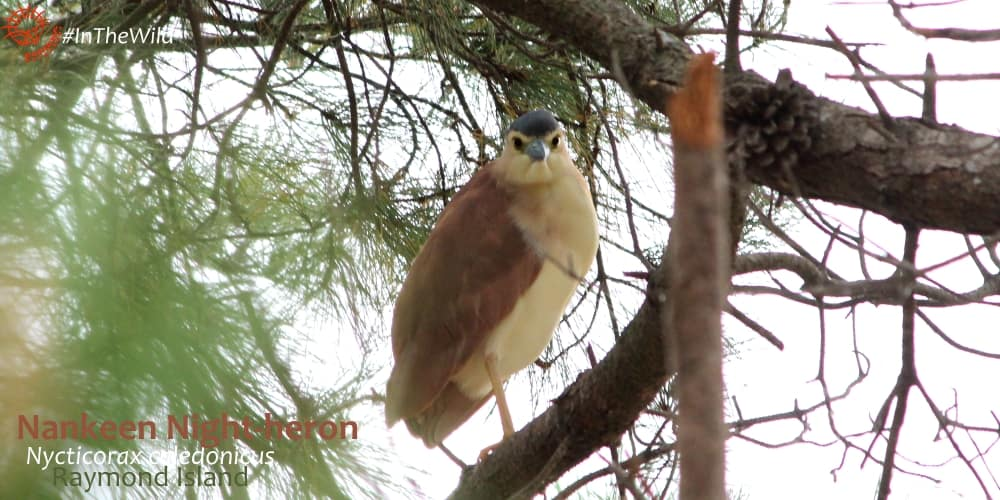 Nankeen night-heron Wildlife Journey tour April 2018