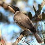 weird bird Australia friarbird