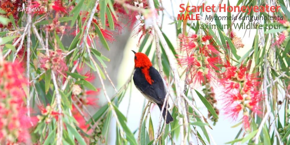colourful red black bird East Gippsland Australia
