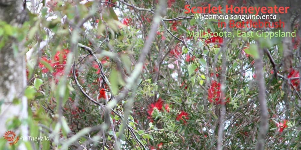 colourful bird in bottlebrush tree Australia
