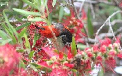 Colourful Birds of Australia: Scarlets and Crimsons of Mallacoota