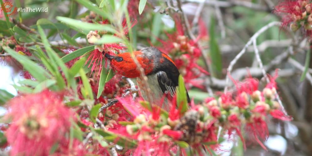 Myzomela sanguinolenta male bird red head flowers