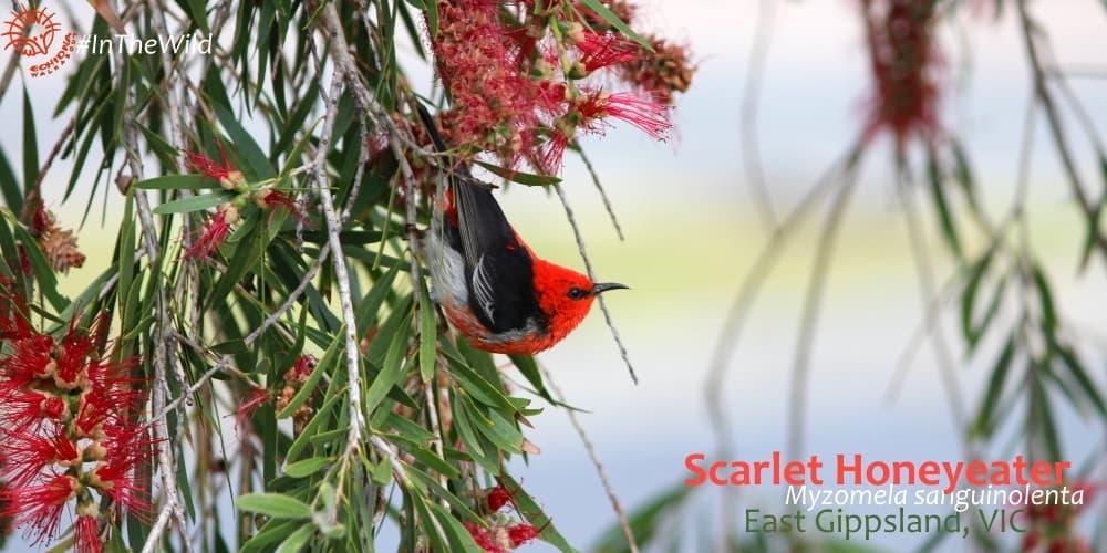 colourful birds of Australia: Scarlet Honeyeater