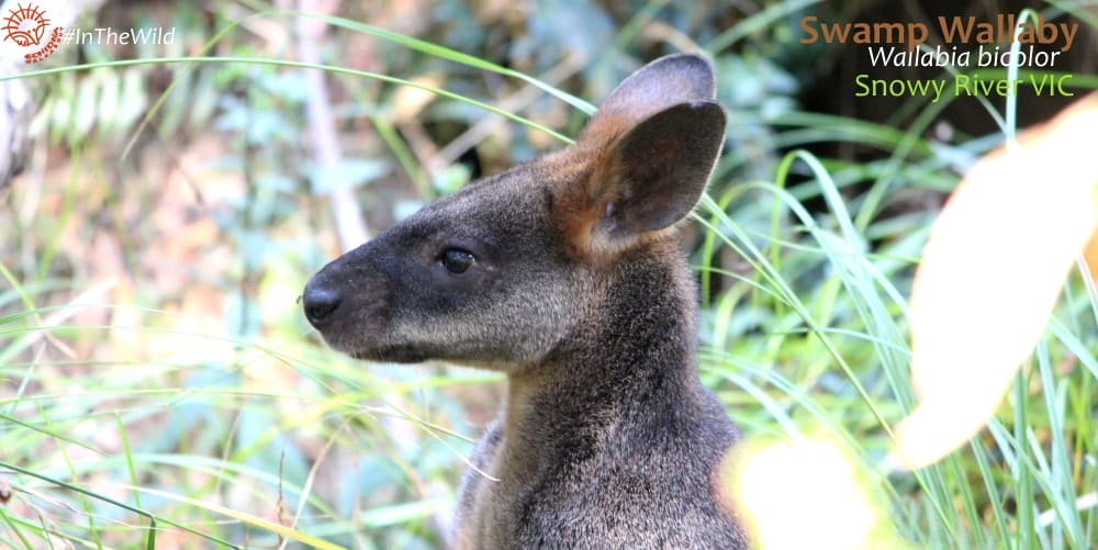 how to identify swamp wallaby from red-necked