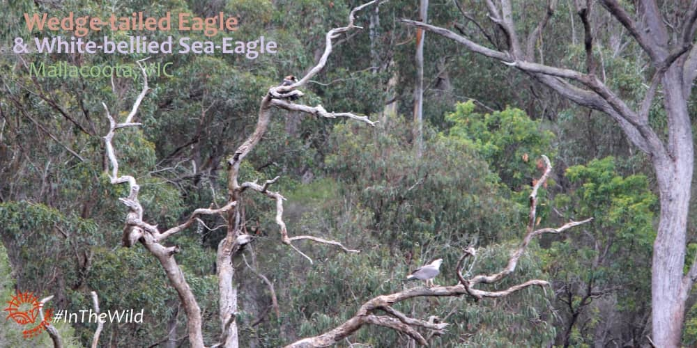 Eagles of Australia: where to see them both in one place