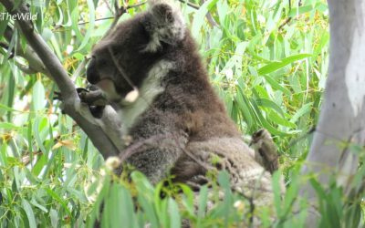 What Purpose Do Koalas Serve? Koala fur & Brown-headed Honeyeaters